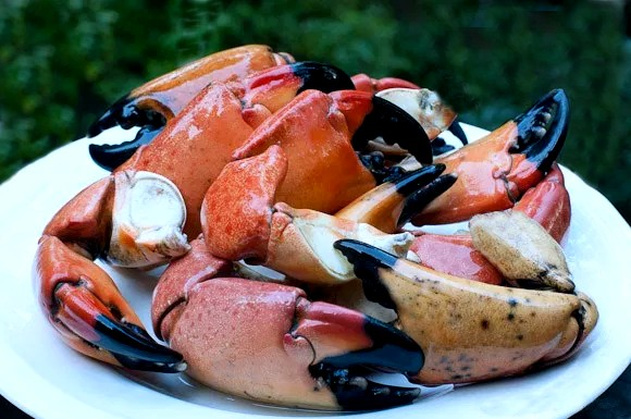 Stone Crab Season Is Here Tampa Fishing Guides